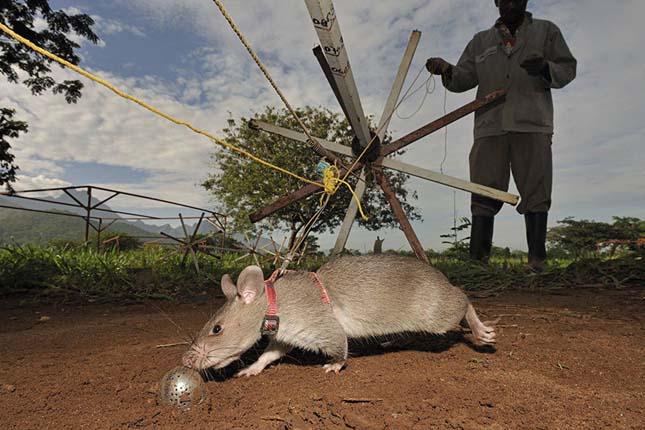 Bombakereső patkányok