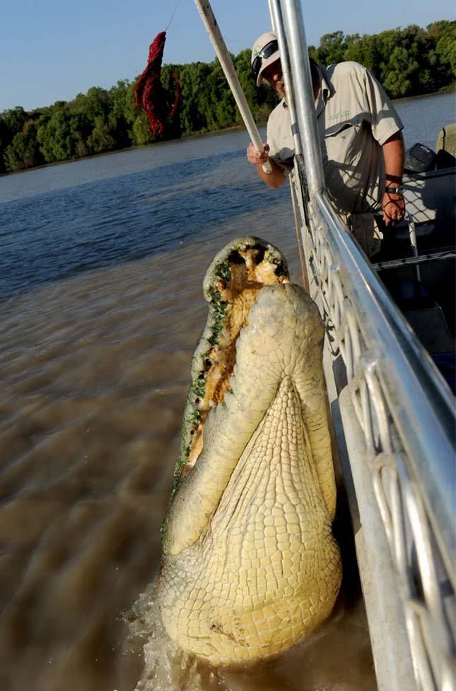 Brutus krokodil