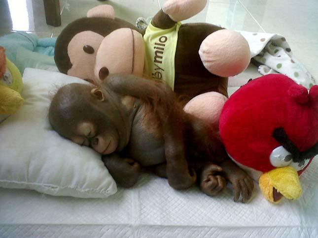 Budi az orángután