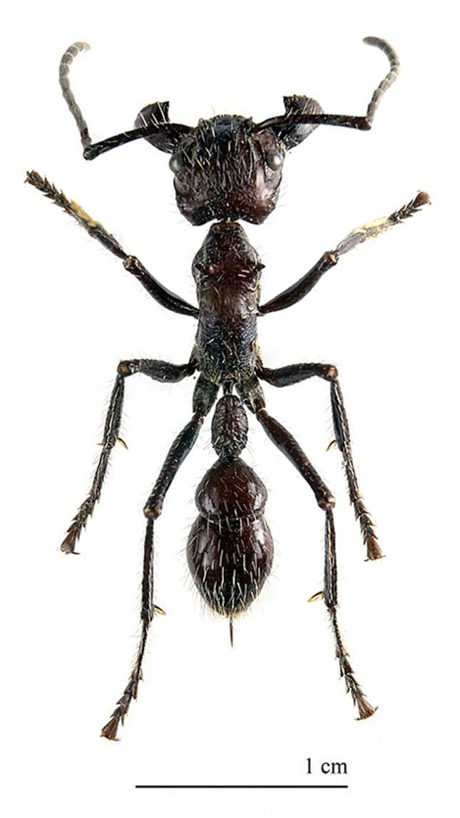 A világ legnagyobb hangyája