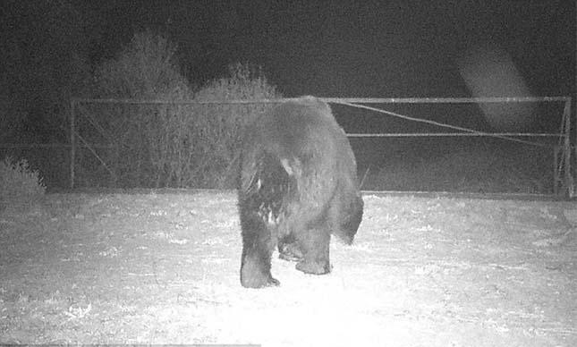 Csernobili barna medve