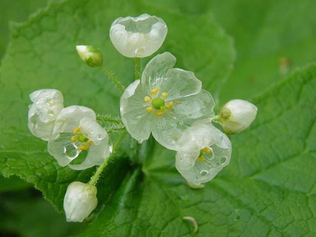 Csontváz virág