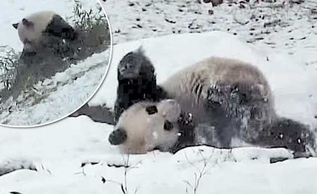 Óriáspanda játszik a hóban