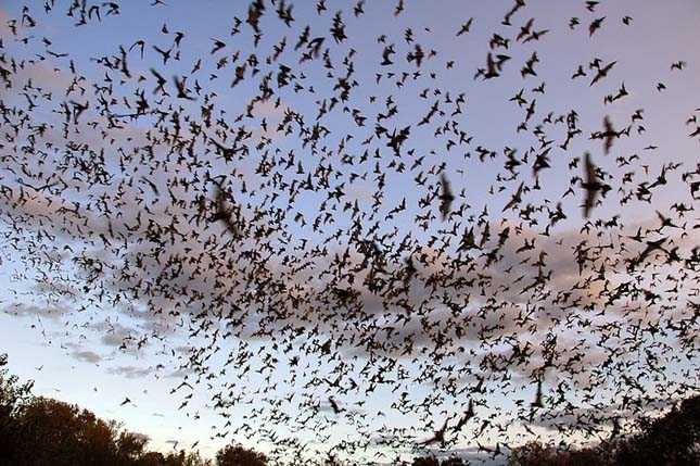 A világ legnagyobb denevér kolóniája