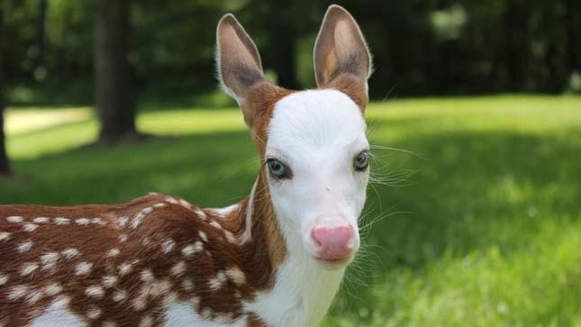 Fehér arcú szarvasgida