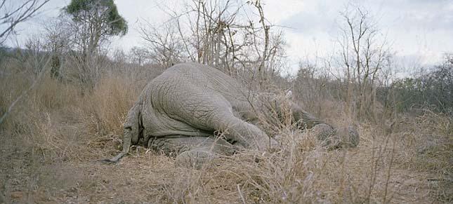 Elpusztult elefánt