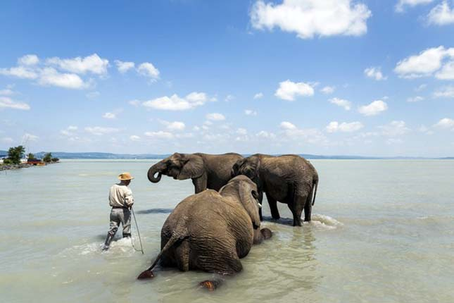 Elefántoka  a Balatonban
