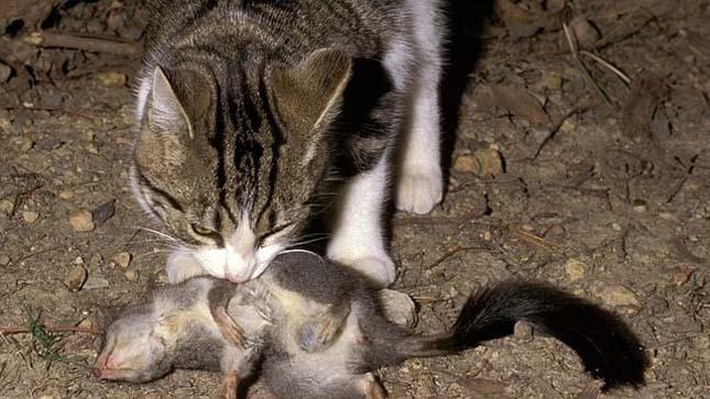Elvadult macskák