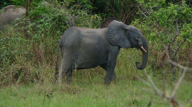 Erdei elefánt