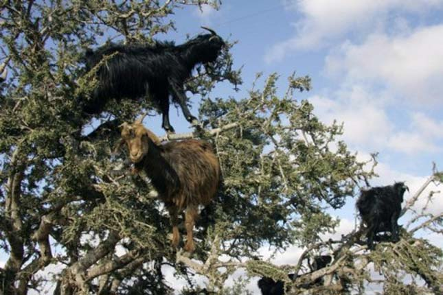 Fán legelő kecskék