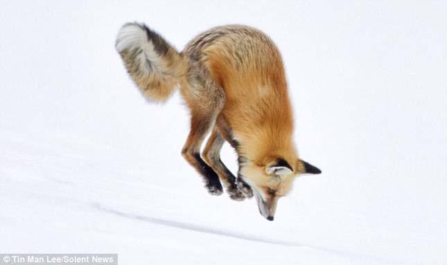 Hóba fejest ugró róka