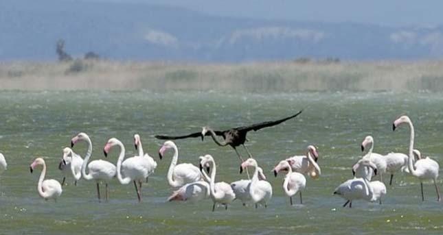 Fekete flamingó