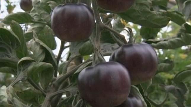 Fekete paradicsom