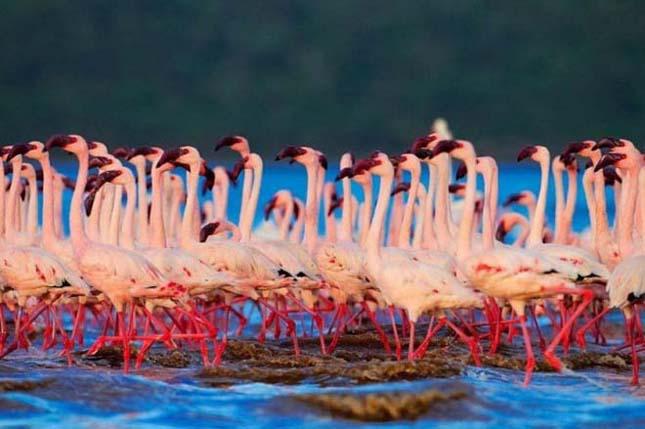 Flamingók tava, Kenya