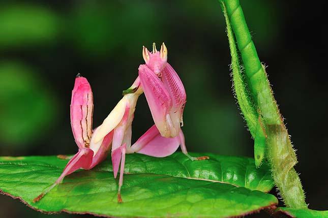 Az orchidea manó