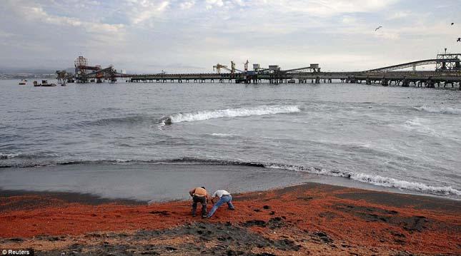 Döglött garnélák lepték el a chilei a partokat