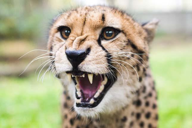 Gepárdok Nyíregyházán