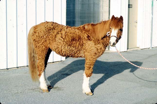 Göndörszőrű lovak