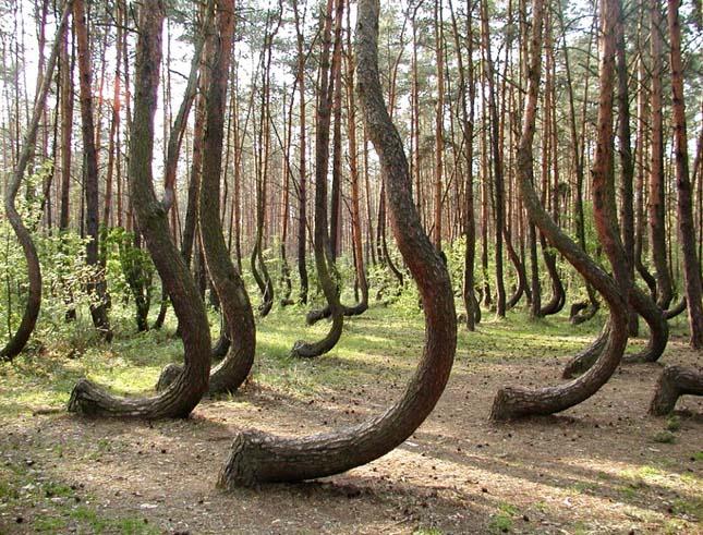 A lengyelországi görbe erdő