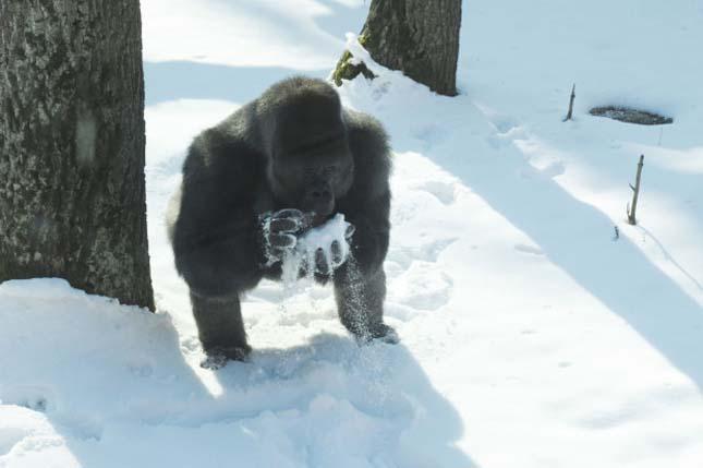 Gorillák a hóban