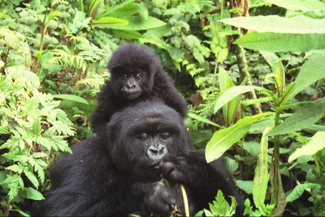 Hegyi gorillák