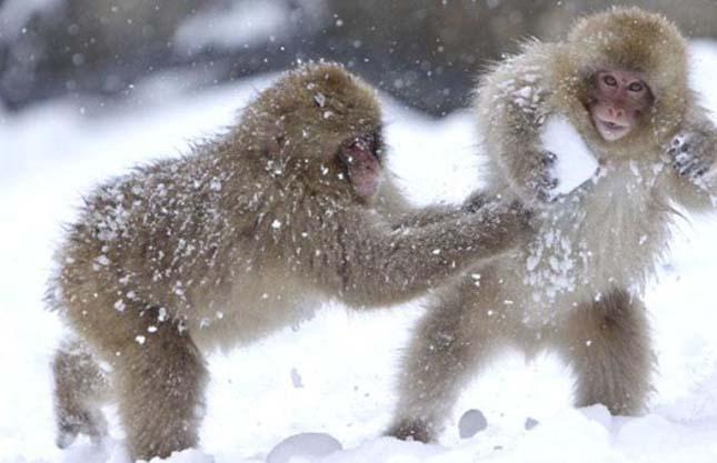 Hóban játszó állatok