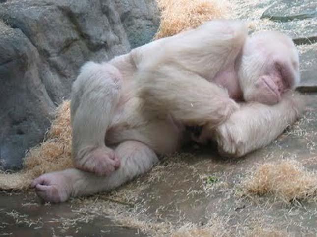 Hópehely, a világ egyetlen fehér gorillája