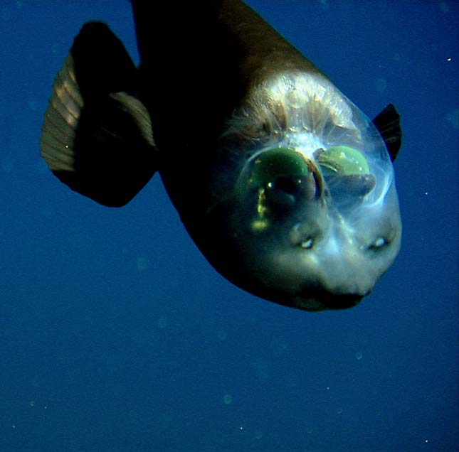 Hordószemű hal