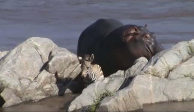 Víiló menti ki a folyóból az állatokat