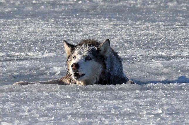 Husky kutya megmentése