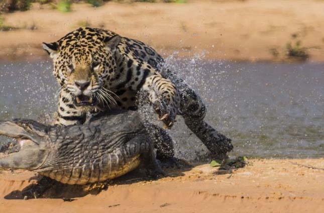 Jaguár krokodilra vadászik
