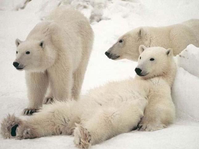 A jegesmedvék a globális felmelegedés fő áldozatai lehetnek