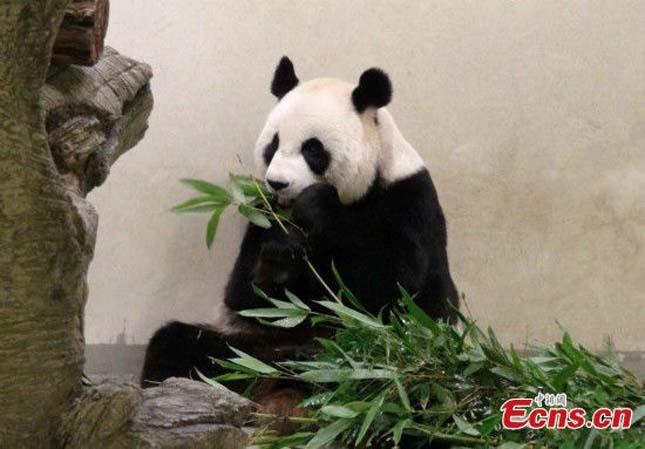 Terhesnek tettette magát egy panda