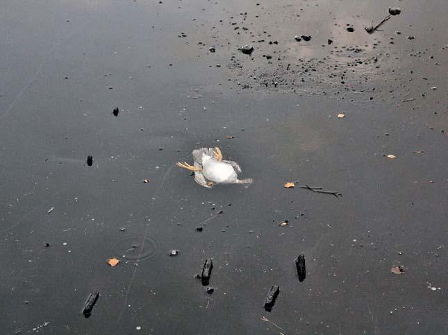 Kacsamentés a jeges vízből