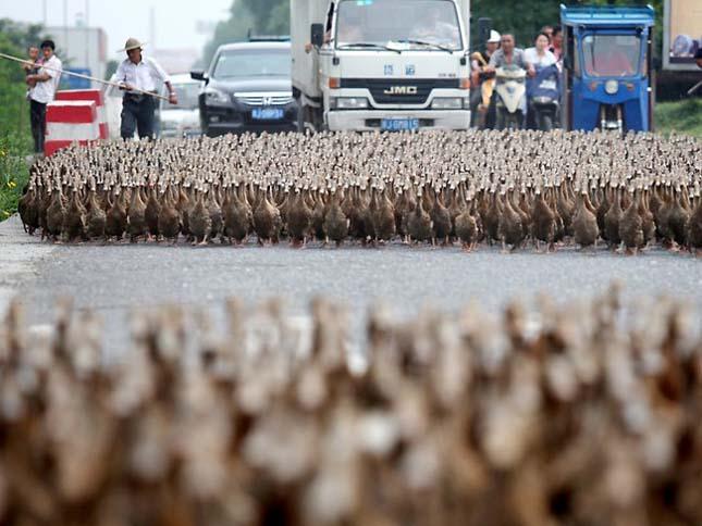 Ötezer kacsáját sétáltatja egy kínai férfi
