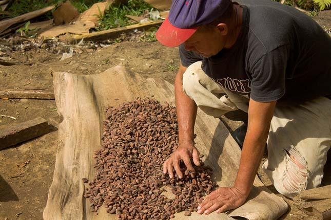 Kakaóbab termelők