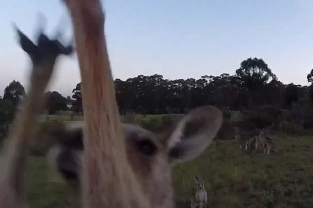 Kiütötte a drónt a kenguru