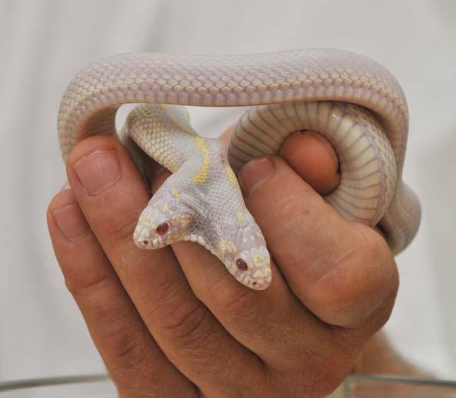 Kétfejű, albínó kígyó
