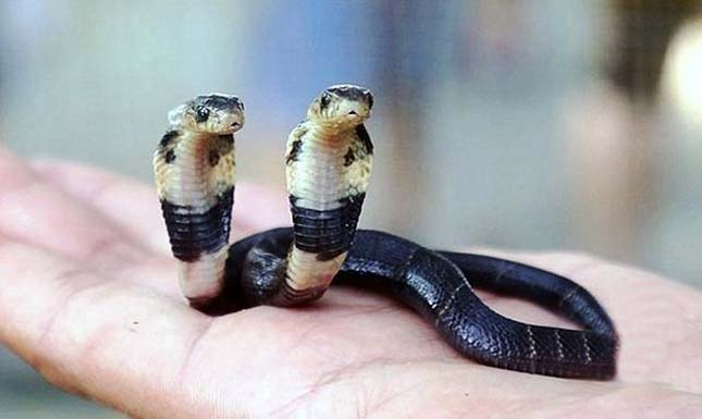 Kétfejű kobra