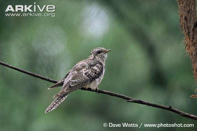 szumátrai földikakukk (Carpococcyx viridis)