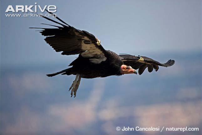 kaliforniai kondor (Gymnogyps californianus)