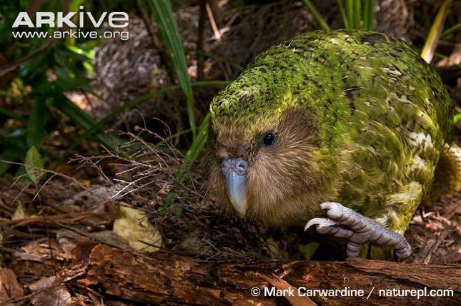 kakapó vagy bagolypapagáj (Strigops habroptilus)