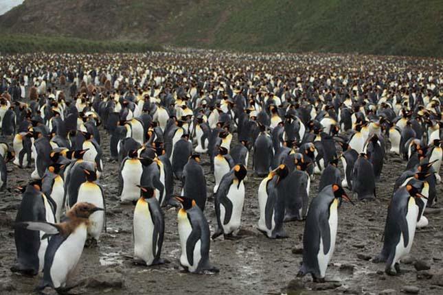 Királypingvinek
