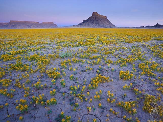 virágba boruló sivatag