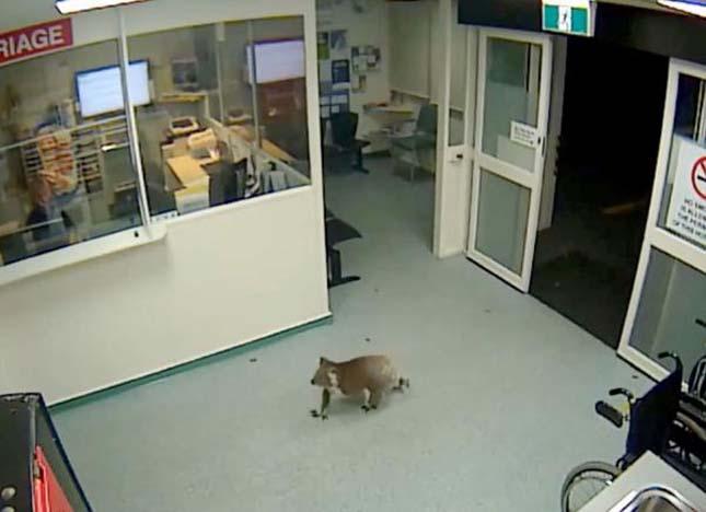 Koala sétált be a kórházba
