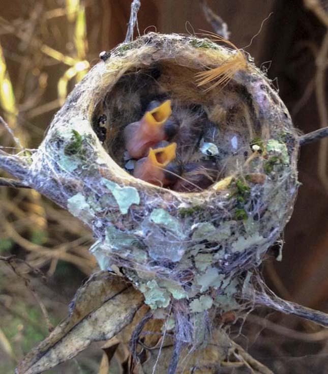 Kolibri fészek