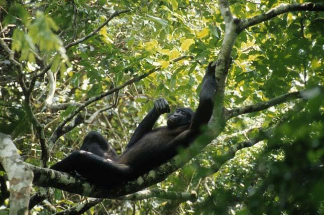 Kongó-medence esőerdeje