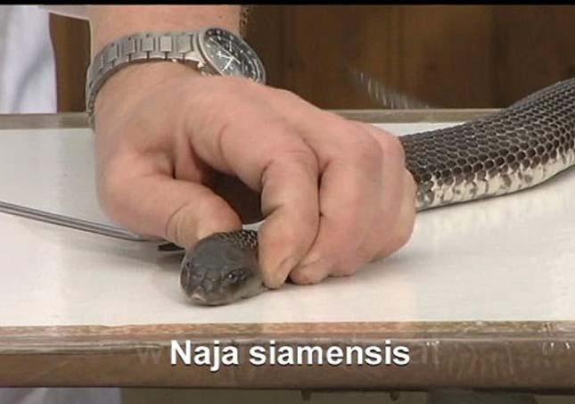Kobra marás