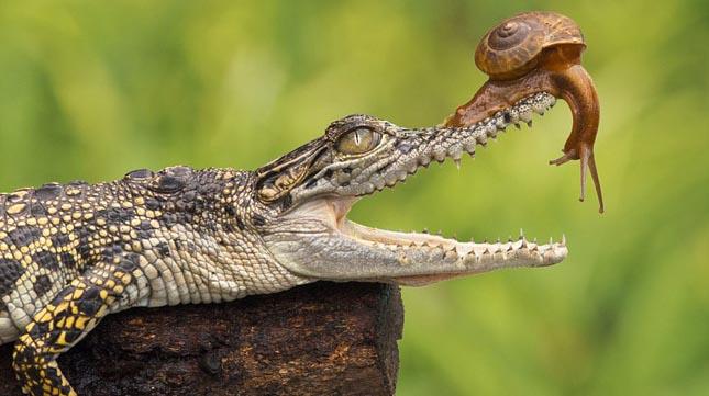 Csiga mászott fel egy krokodil fejére