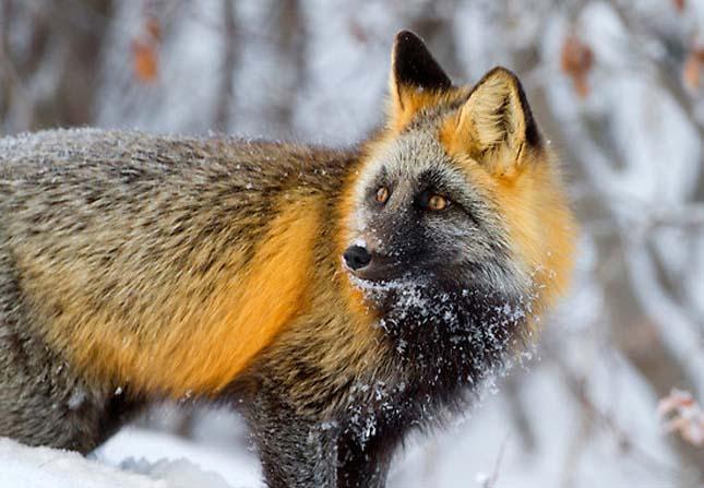 Különleges rókák